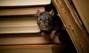 L'été des rats cannibales! Affamé, agressif, très fertile - et venant chez nous | Nouvelles du monde