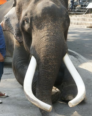 Ekasit, the elephant that crushed its owner to death in Thailand.