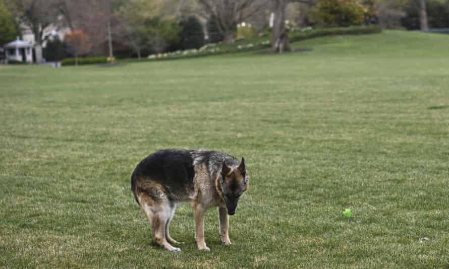 Champ plays on the White House lawn in March. The Bidens purchased Champ from a Pennsylvania breeder in 2008.