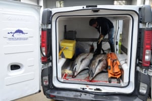 Dolphins are loaded in a van at the Pelagis Marine Mammal Research Center after more than 800 were stranded on the coast of Charente-Maritime in La Rochelle, France following the winter storms