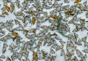 Monarchs in the Snow by Jaime RojoWorld press photo awards: nature category, third prize, singlesA carpet of monarch butterflies covers the forest floor of El Rosario butterfly sanctuary in Michoacan, Mexico after a strong snow storm. The storm hit the mountains of central Mexico, creating havoc in the wintering colonies of monarch butterflies just as they were starting their migration back north to the US and Canada. Climate change is creating an increase in these unusual weather events, representing a huge challenge for these usually resilient insects during their hibernation.