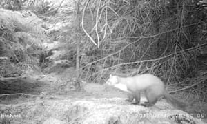 A rare pine marten, which caught on camera in Yorkshire, England, for the first time in 35 years