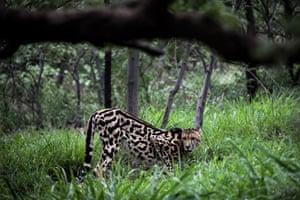 A rare male king cheetah at the Ann van Dyk Cheetah Centre in Hartbeespoort, South Africa