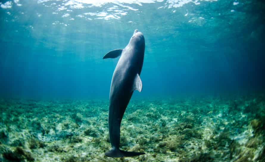 Spinner dolphins are among species that seem to be thriving in the newly-discovered coral sanctuary.