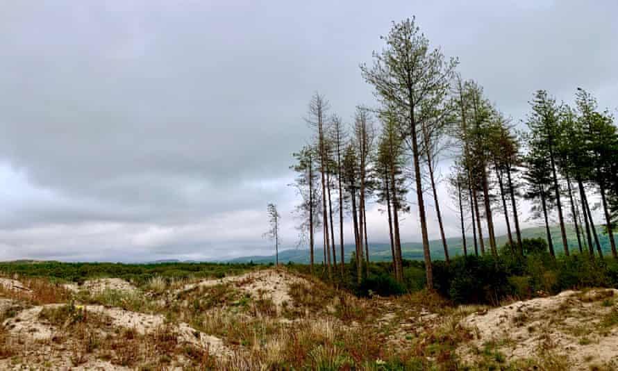 Pines on dunes.