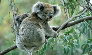 Koala with baby in a gum tree