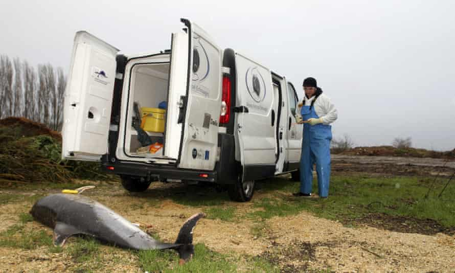 A scientist standing by a dead dolphin in Chatelaillon-les-Boucholeurs on the Atlantic coast