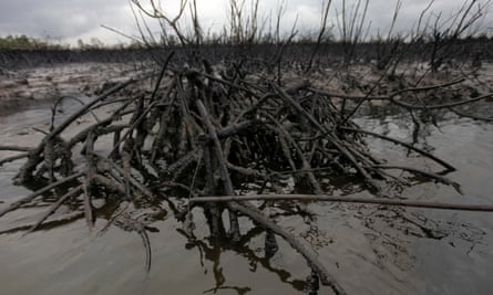 Oil laps at the base of a mangrove in Bodo creek in the Niger delta