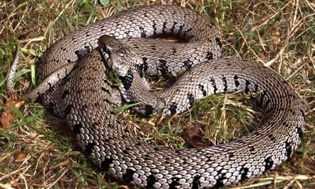 A barred grass snake.