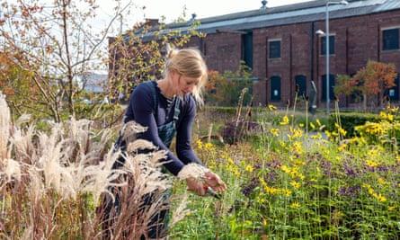 Katy Merrington takes cuttings of Coreopsis tripteris.