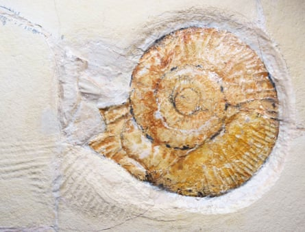 A close-up of the ammonite which created the drag mark, Subplanites rueppellianus.