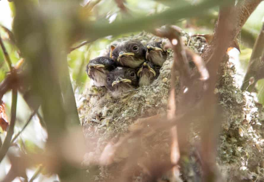 The chicks, now ten or eleven days old, leaning out of the nest