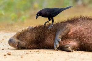 Giant cowbird taking ticks from a capybara, Pantanal, Brazil