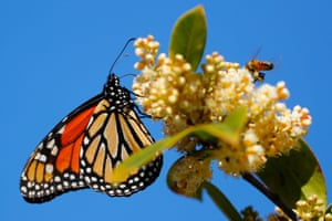 A monarch butterfly encounters a bee in Encinitas, California.