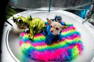 Chihuahuas dressed as aliens