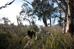 The eucalypt woodland.