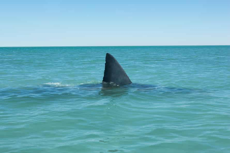 Fin of Great white shark breaking surface of sea, side view.