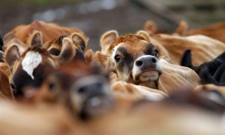 Herd of cows in California