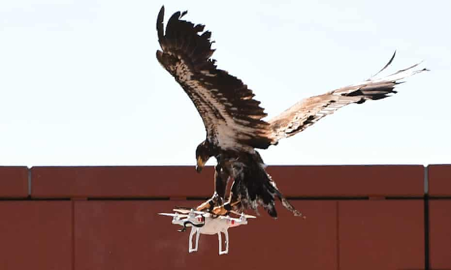 A young eagle displays its skills during the demonstration organised by the Dutch police.