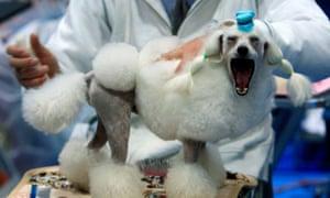 A man grooms his pet poodle
