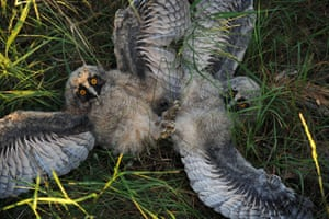 Two long-eared owl chicks play in the grass at a wildlife sanctuary near the village of Vygonoshchi, Belarus