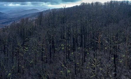 Burned trees in the Kuark forest Eastern Victoria