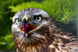 Khabarovsk, RussiaA rough-legged buzzard in the Khabarovsk territory forest on Russia's Pacific coast