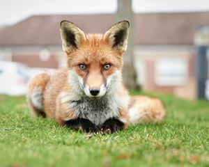 A fox sitting on grass in front of a building, looking into camera