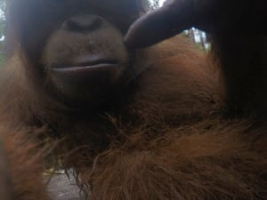 A baby orangutan picks up the camera and takes some pictures