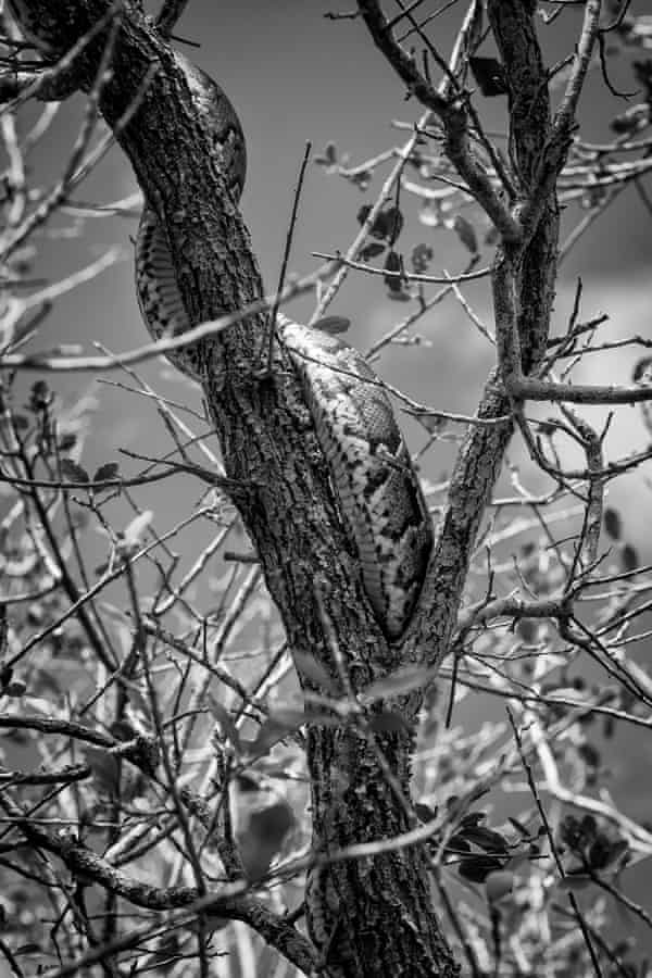 A python in a tree