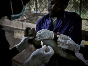 Caretakers administer medications to a red-tailed monkey at Lwiro Primate Centre