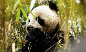 A wild giant panda in China