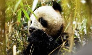 A wild giant panda in China