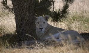 The cubs' mother, Nala