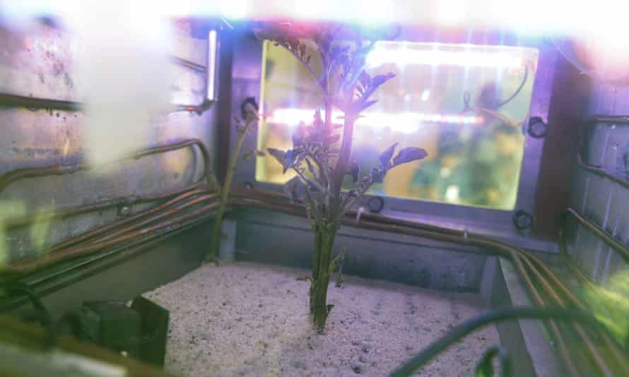 A potato plant grows inside a Mars simulator in Lima, Peru on 16 March 2017.