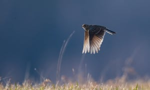 Skylark numbers have fallen 40% in the last 50 years, according to Friends of the Earth.