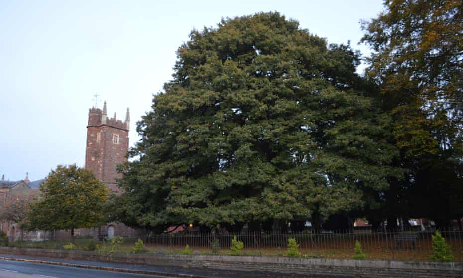 Lucombe oak by St Thomas's Church, Exeter