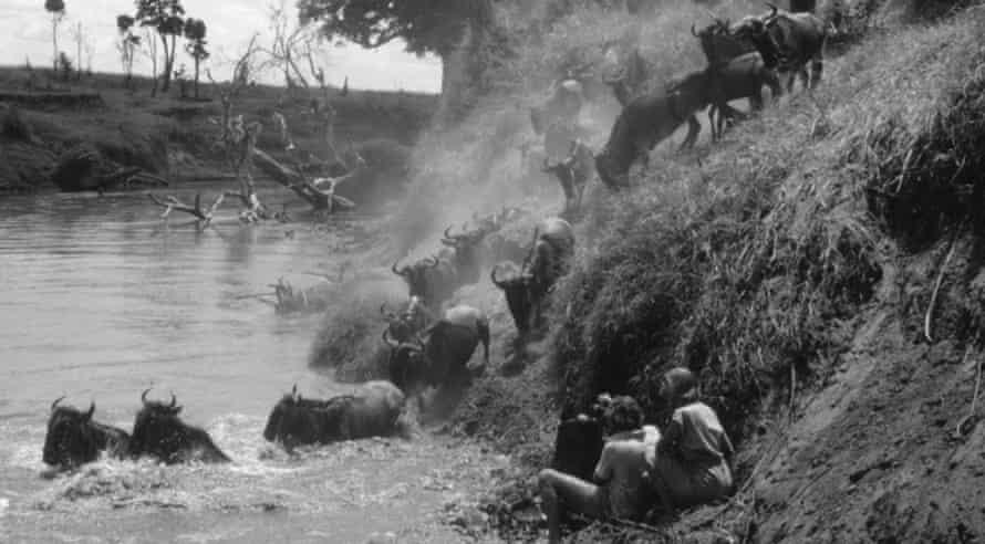 Alan and Joan Root filming wildebeest crossing the Mara river between Tanzania and Kenya.