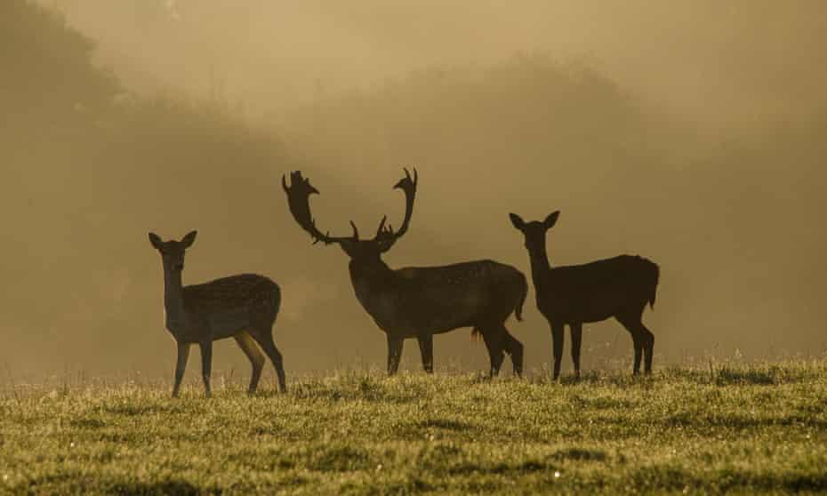 Fallow deer on the Knepp Castle Estate, West Sussex