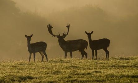 Fallow Deer on the Knepp Castle Estate, West Sussex.