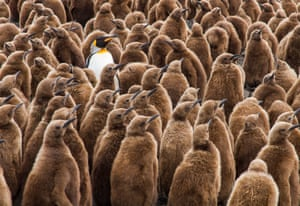 Jamie Coleman, runner-up  Which one's mine? On the island of South Georgia, an adult king penguin wades through the masses of chicks in search of its hungry youngster.   PAUL GOLDSTEIN JUDGE: Cliched but good. The adult king penguins of South Georgia often get themselves surrounded by juveniles. The shot needs a little cropping and a few of the duffle-coated youngsters are facing the wrong way but the overall effect is convincing.