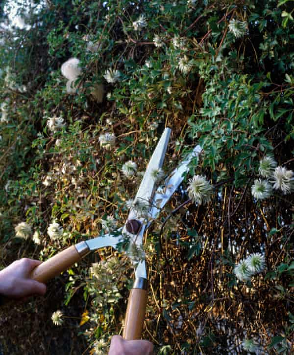 Pruning clematis: 'I am instantly barraged by questions about non-flowering clematis and slug-infested hostas.'