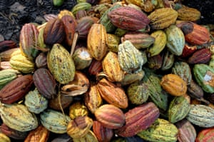 cocoa pods in a pile harvested in madagascar