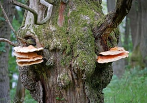 Chicken of the woods bracket fungus digests the dead heartwood of oaks but leaves live sapwood intact, creating hollow trees