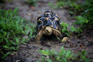 A star tortoise at the Zoological Gardens in Yangon, Myanmar