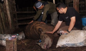 Indonesian environmental activist tending to an ill Sumatran Rhino (Dicerorhinus sumatrensis) after it was found in a pit trap.