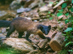 A yellow-throated marten is spotted in a forest in Kathmandu, Nepal.