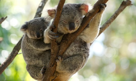 There are fears for the fate of hundreds of koalas whose prime habitat has been burned following a bushfire caused by a a lightning strike near Port Macquarie in northern NSW