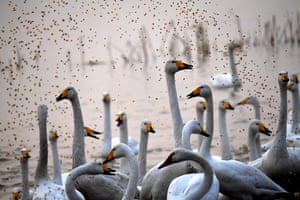 White swans that have migrated from Siberia are fed in Sanmexia, Henan province, China