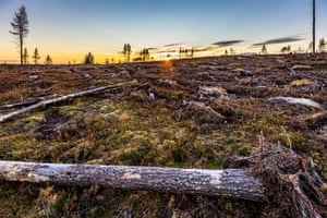 Felled trees in mossy landscape at sunrise or sunset.